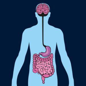 Intestin - cerveau - organe - anatomie - digestion - alimentation