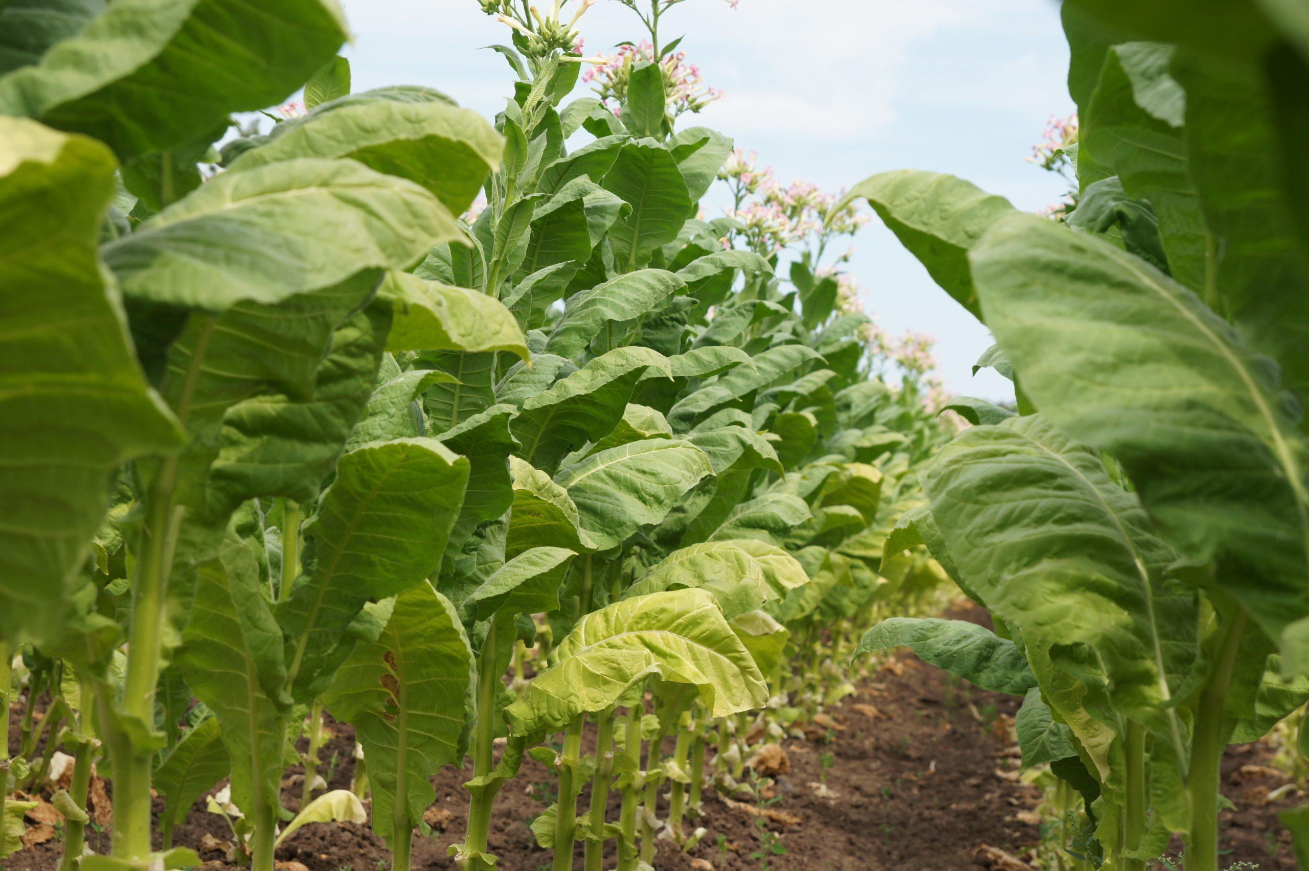 Tabakpflanzen auf einem Feld